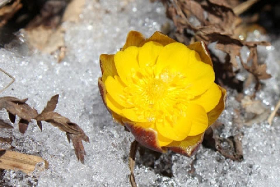 Первые цветы адониса амурского распустились в Приморье
