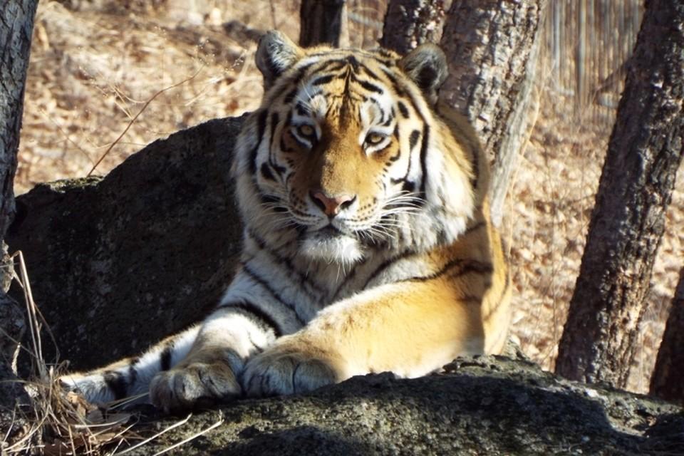 Тигр Амур давно стал настоящим символом приморского сафари-парка. Фото: Антон Федосеев\safaripark25.ru
