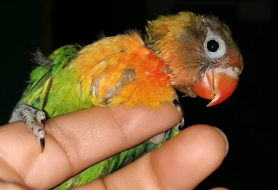 Птенца попугая-неразлучника, едва не убитого матерью, выхаживают в зоопарке Иркутска. Фото: предоставлено зоопарком.