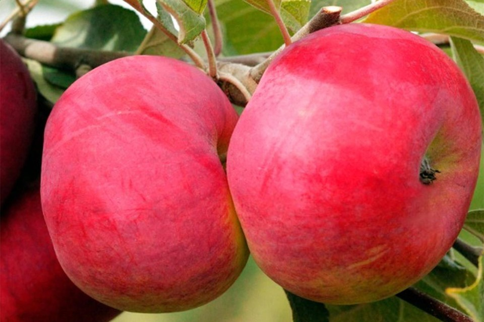 Яблоня «Лигол»