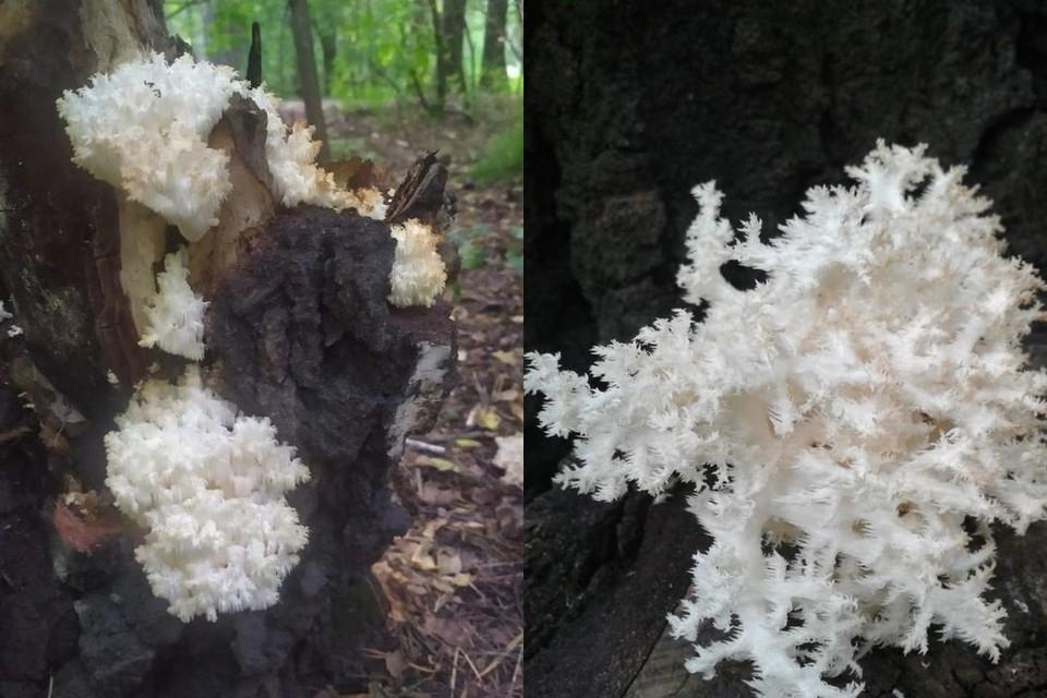 В Сосновом бору новосибирцы обнаружили редкий коралловый гриб. Фото: предоставлено Марией