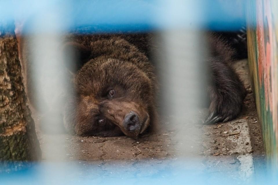 В понедельник дадут разрешение на отстрел животного