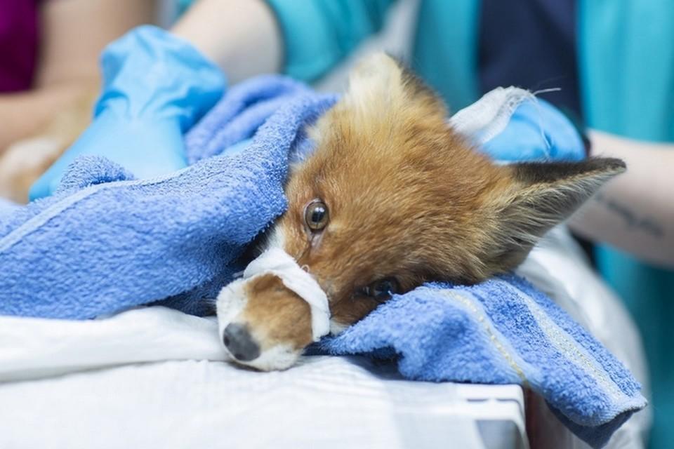 В клинике лисенку провели операцию. Фото: группа ВКонтакте «Ветеринарная клиника Клык+, Пермь».