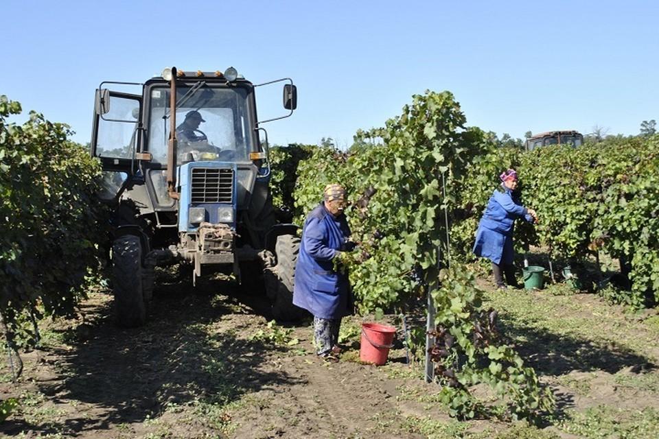Сейчас площадь виноградников составляет 2,5 тысячи га. Фото: сайт правительства РО
