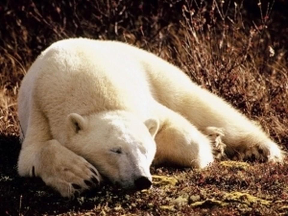 В Ростовском зоопарке поселится белый медведь по кличке Еши.