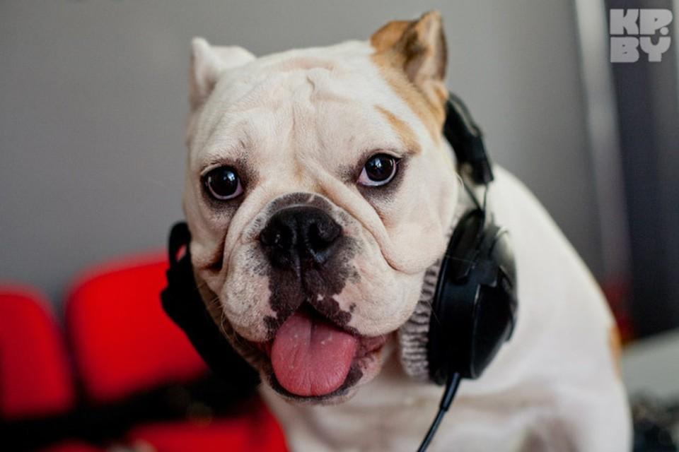 Английский бульдог Боня уже второй год веселит слушателей в вечернем радиошоу на волнах «Юнистар».