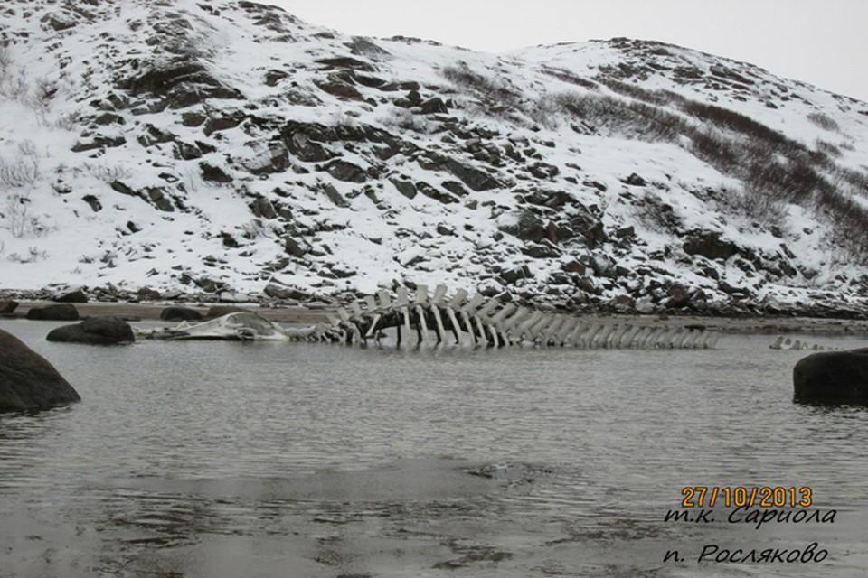 """Благодаря съемкам """"Левиафана"""", у берегов Териберки появился огромный скелет морского чудовища."""